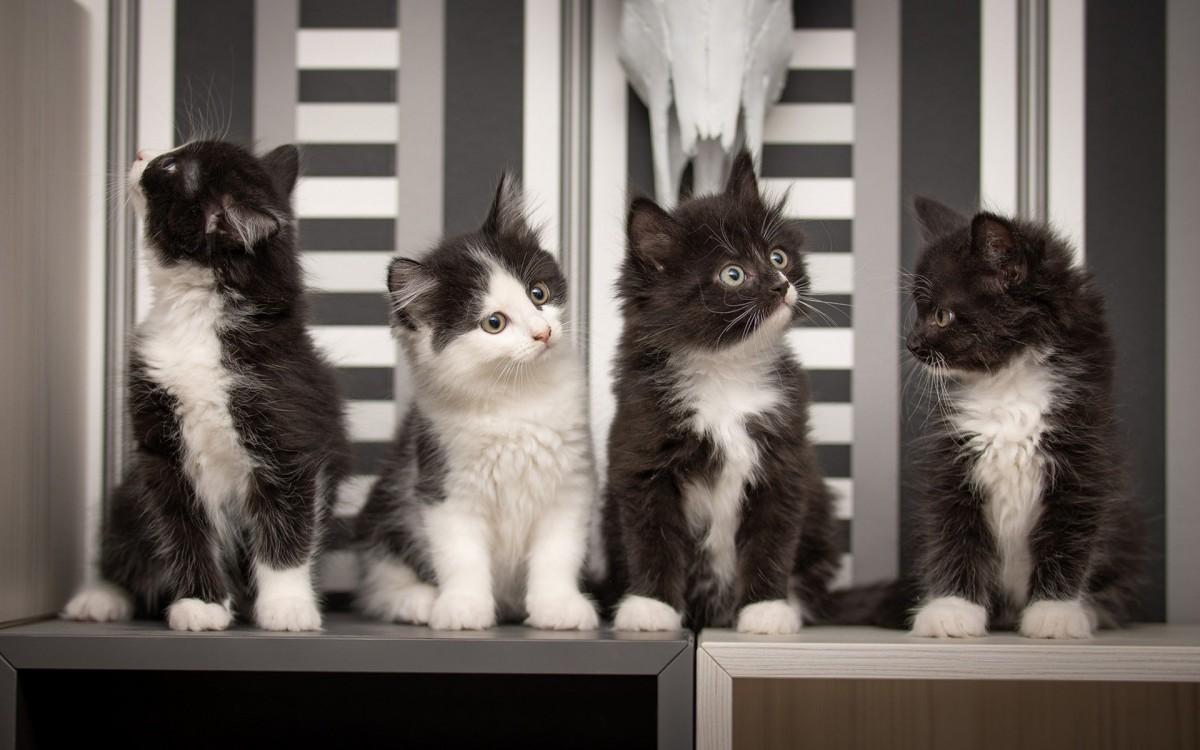 Rompecabezas Recoger rompecabezas en línea - Black and white kittens