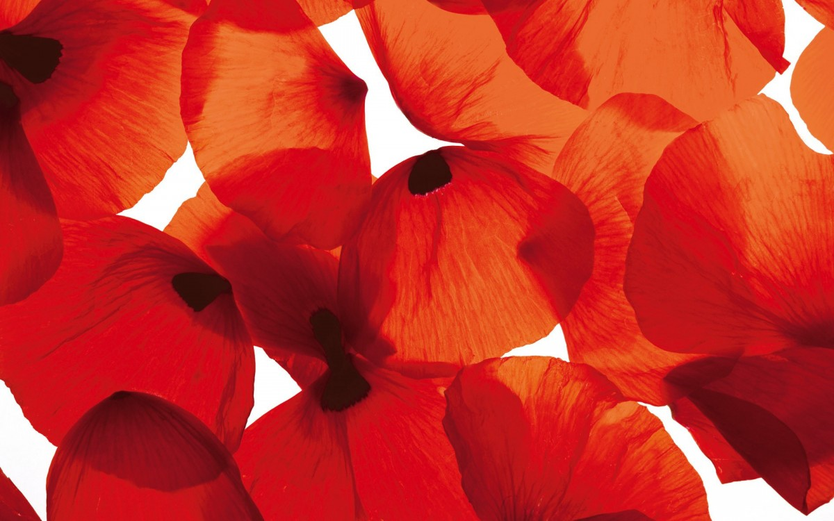 Rompecabezas Recoger rompecabezas en línea - The petals of poppies