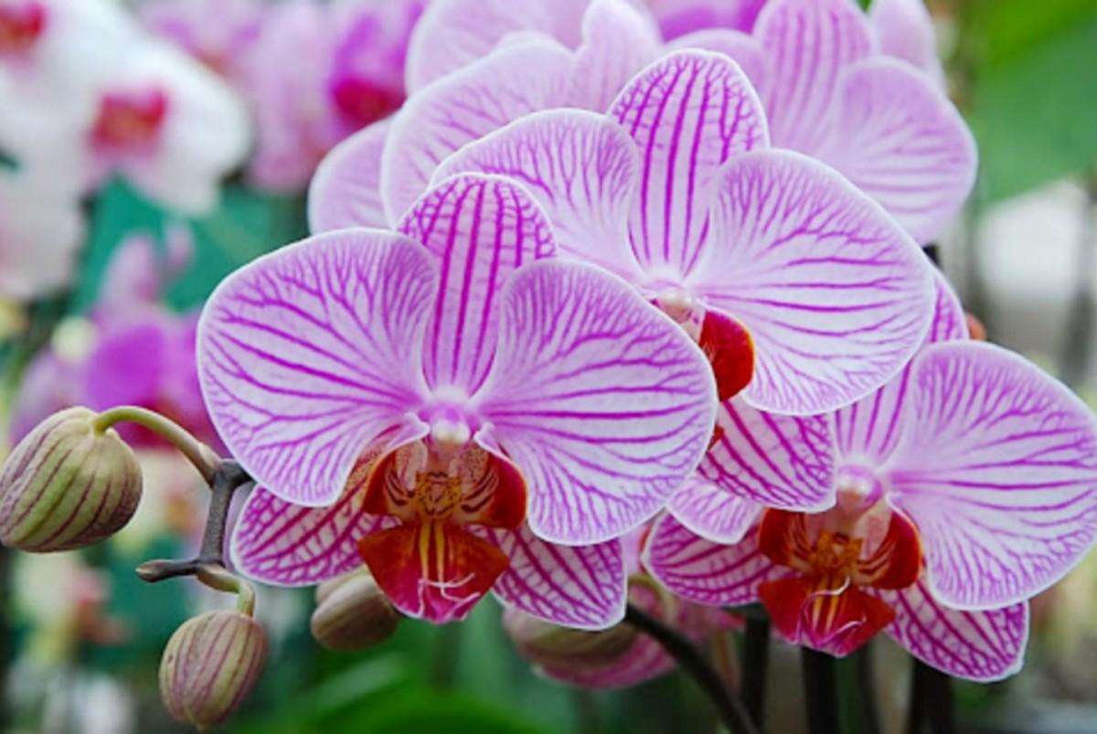 Rompecabezas Recoger rompecabezas en línea - Orchids
