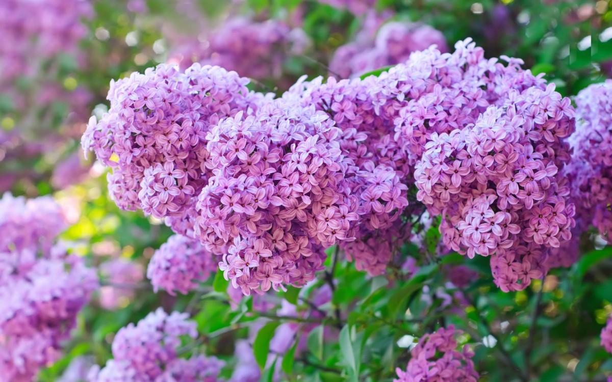 Rompecabezas Recoger rompecabezas en línea - Excellent lilac