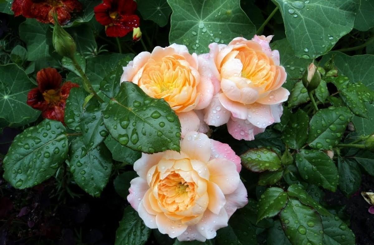 Rompecabezas Recoger rompecabezas en línea - Roses and nasturtium