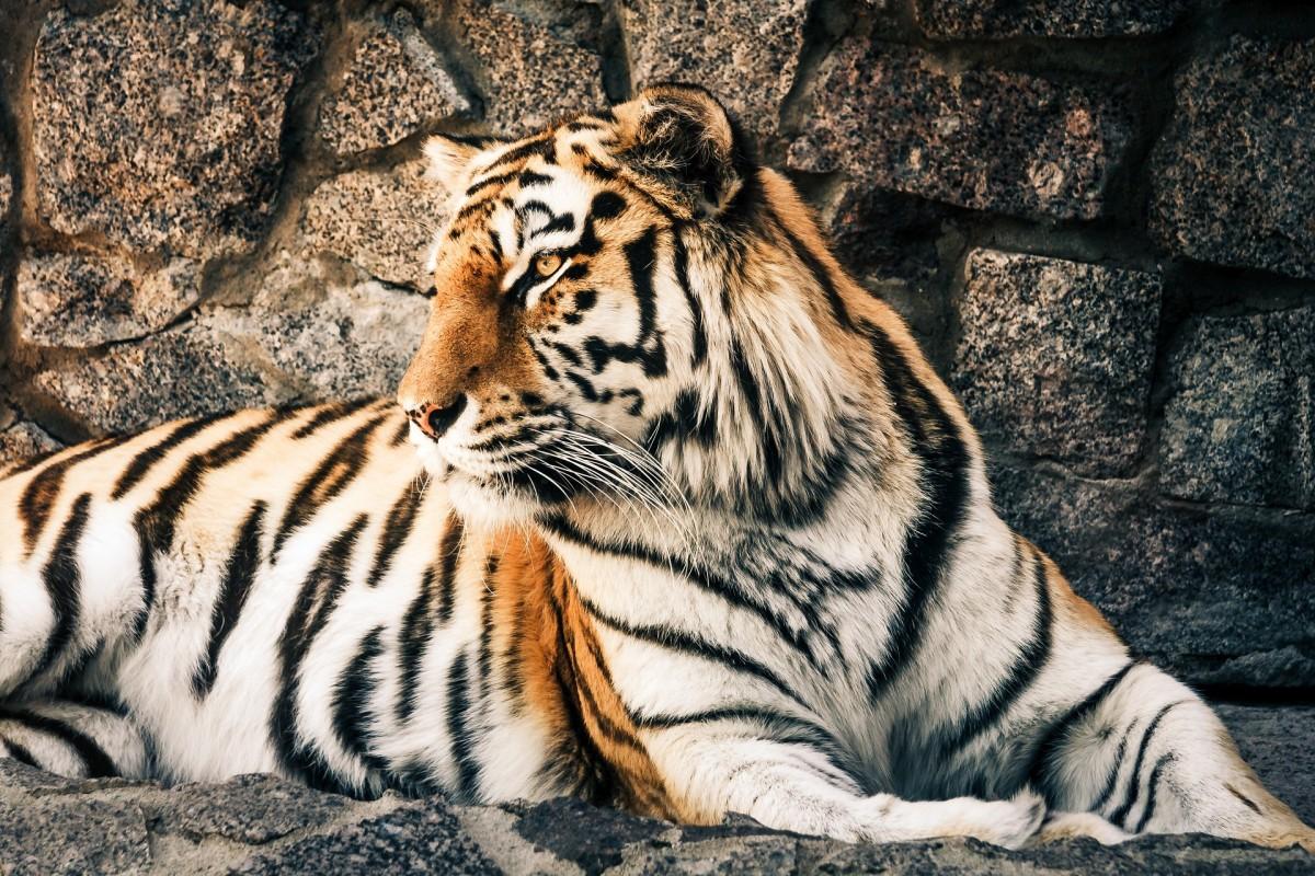 Rompecabezas Recoger rompecabezas en línea - Tiger