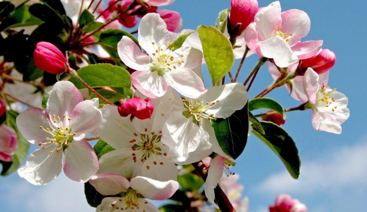 Rompecabezas Recoger rompecabezas en línea - Spring Apple tree