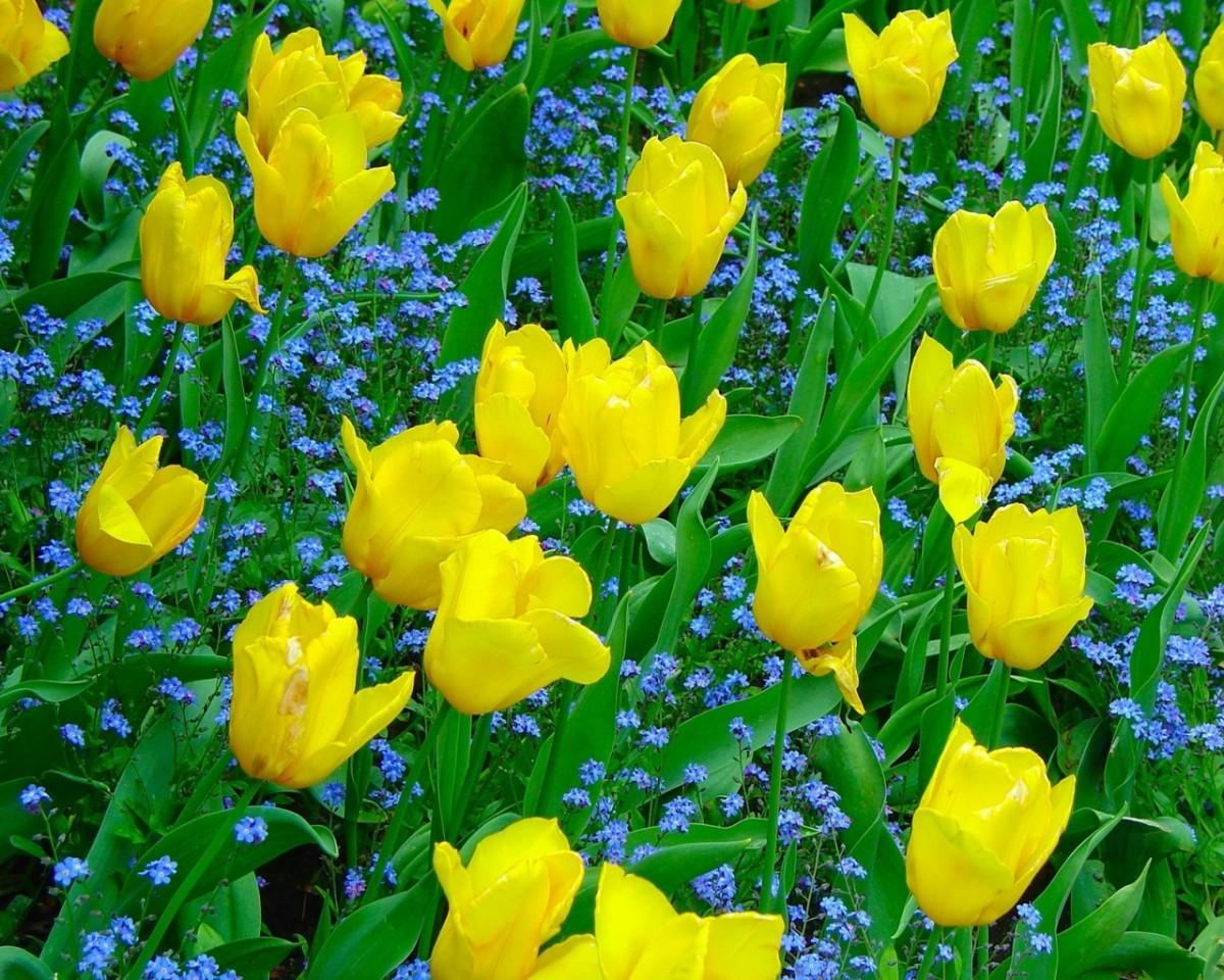 Rompecabezas Recoger rompecabezas en línea - Yellow tulips