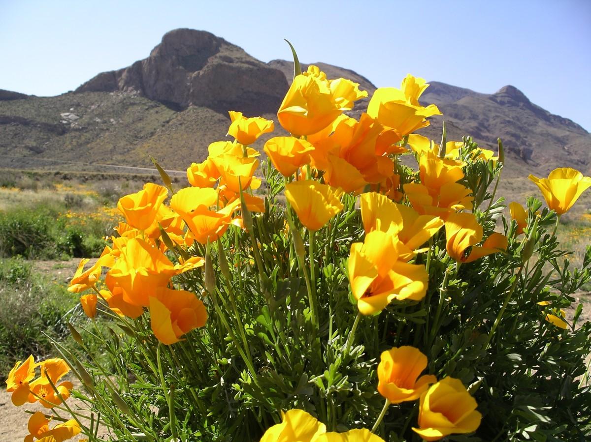 Rompecabezas Recoger rompecabezas en línea - Golden poppies