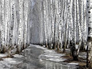 Собирать пазл Birch in spring онлайн