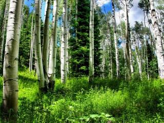 Собирать пазл Birch and spruce trees онлайн