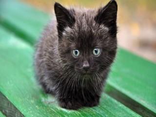 Собирать пазл Black kitten онлайн