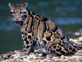 Собирать пазл Clouded leopard онлайн