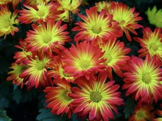 Собирать пазл Chrysanthemum онлайн