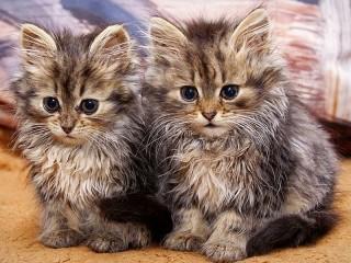 Собирать пазл Two kittens онлайн