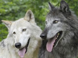 Собирать пазл Two wolves онлайн