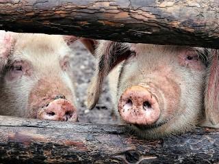 Собирать пазл Two pigs онлайн