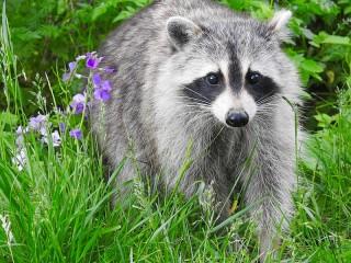 Собирать пазл Raccoon онлайн