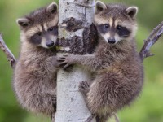 Собирать пазл Raccoons in a tree онлайн