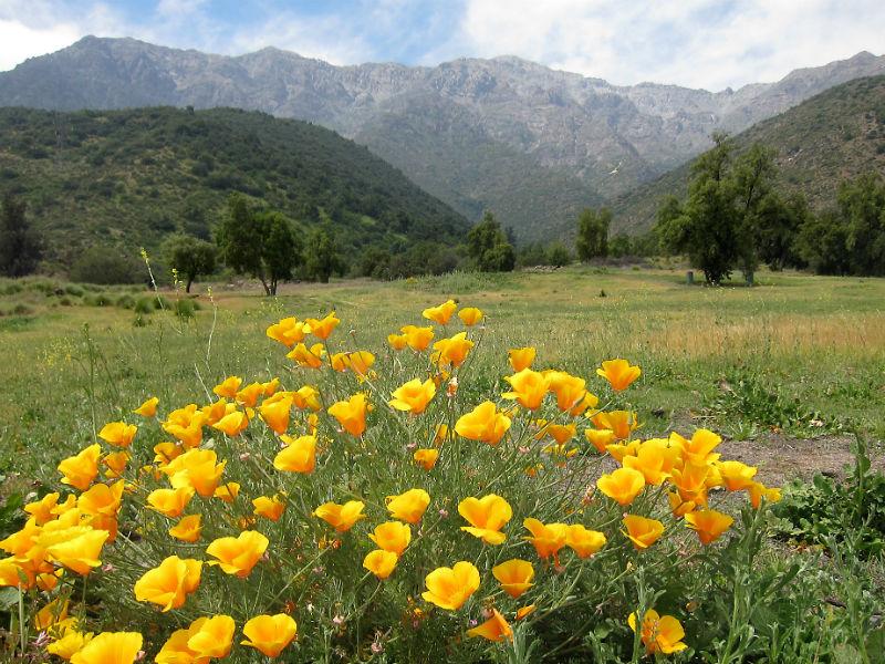 Rompecabezas Recoger rompecabezas en línea - California poppy