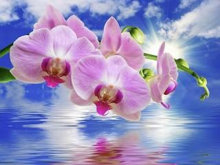 Собирать пазл Phalaenopsis онлайн