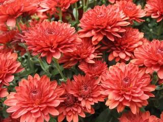 Собирать пазл Red chrysanthemums онлайн