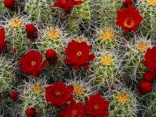 Собирать пазл Cacti in bloom онлайн