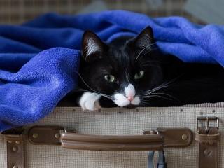Собирать пазл Cat in a suitcase онлайн