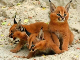Собирать пазл Kittens Caracal онлайн