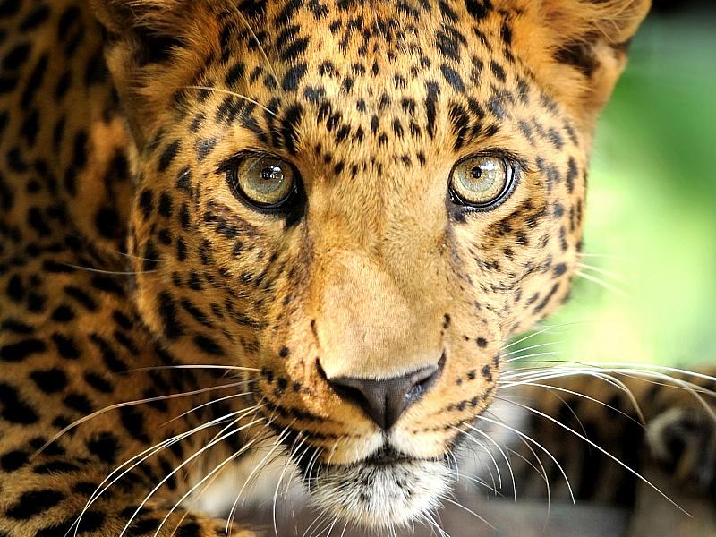 Rompecabezas Recoger rompecabezas en línea - Posing leopard