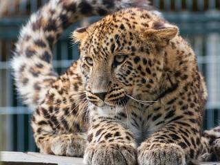 Собирать пазл Lying leopard онлайн