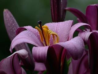 Собирать пазл Purple Lily онлайн