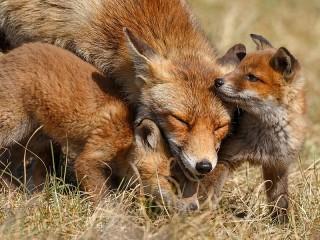 Собирать пазл Fox and cubs онлайн