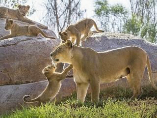 Собирать пазл Lioness with cubs онлайн