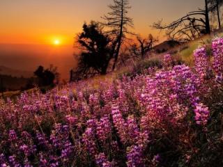 Собирать пазл Lupine sunset онлайн