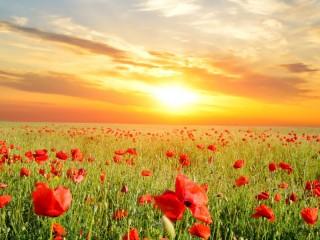 Собирать пазл Poppy field онлайн