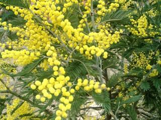 Собирать пазл Mimosa онлайн