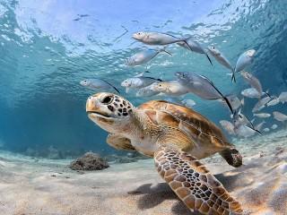 Собирать пазл Sea turtle онлайн