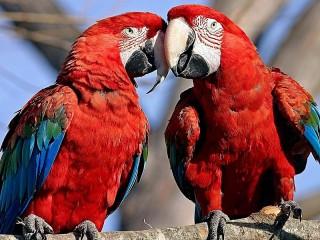Собирать пазл Parrots онлайн