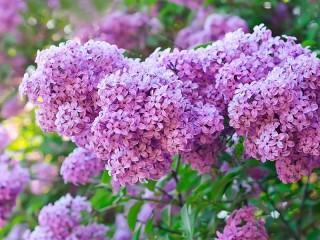 Собирать пазл Excellent lilac онлайн