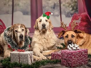 Собирать пазл Dogs near boxes онлайн