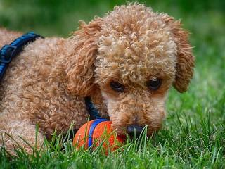 Собирать пазл The poodle and the ball онлайн