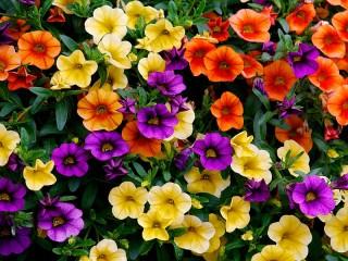 Собирать пазл Colorful Petunia онлайн