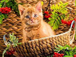 Собирать пазл Ginger kitten онлайн