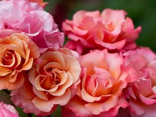 Собирать пазл Rozovie rozi онлайн