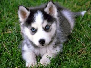 Собирать пазл Husky puppy онлайн
