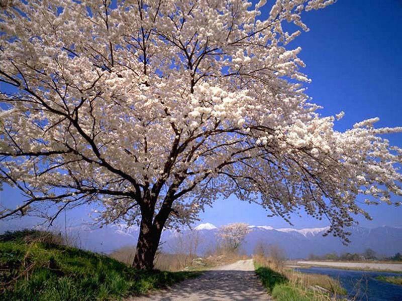 Rompecabezas Recoger rompecabezas en línea - flowering tree