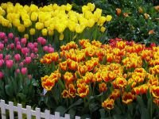 Собирать пазл Tulips 2 онлайн