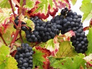 Собирать пазл Grapes and leaves онлайн