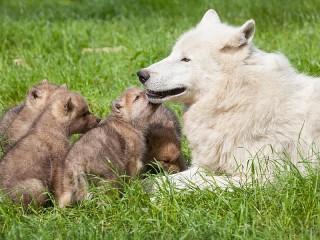 Собирать пазл Wolf with cubs онлайн