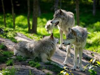 Собирать пазл Pack of wolves онлайн