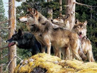 Собирать пазл Wolves онлайн