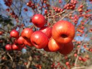 Собирать пазл Apples 1 онлайн