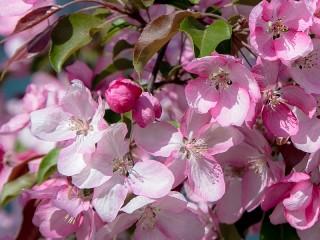 Собирать пазл Apple tree in bloom онлайн